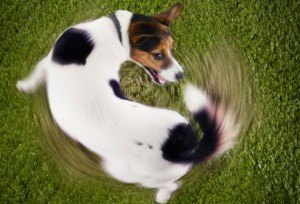 corbis_rf_photo_of_dog_chasing_tail